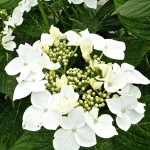 HYDRANGEA M. GREAT STAR