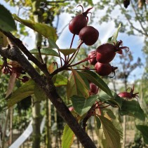 MALUS RED SENTINELLE