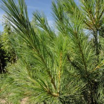 PINUS GRIFFITHY