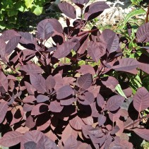 COTINUS C. ROYAL PURPLE