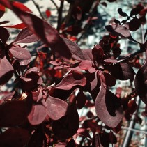 BERBERIS TH. ROSE GLOW