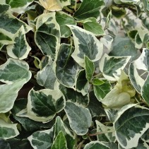 HEDERA LITTLE DIAMOND