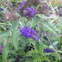 BUDDLEIA ADONIS BLUE