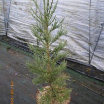 SEQUOIDENDRON